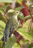 Blackpoll Warbler 3144