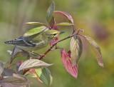 Blackpoll Warbler 3153