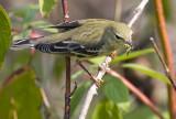 Blackpoll Warbler 3184