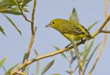 Yellow Warbler 3326