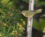 Common Yellowthroat 3466