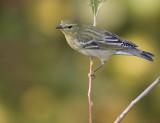 Blackpoll Warbler 3720