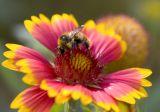 bee on Gallardia
