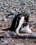 Penguin feeding chick
