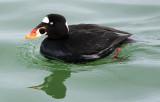 Port Washington Ducks March 2008