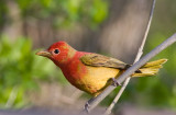 Summer Tanager 1st year 4757