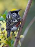 Chestnut-sided Warbler 5414