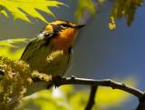 Blackburnian Warbler 6199