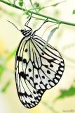 107 - Danaidae