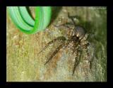 Pardosa lugubris 3