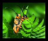 Cantharis rustica Weichkaefer 1