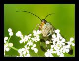 Panorpa germanica Skorpionsfliege copy.jpg
