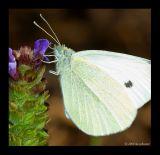 Weissling (Pieridae)