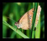 Bläuling (Lyaenidae) 1