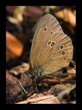 Bläuling (Lyaenidae) 2