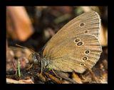 Bläuling (Lyaenidae) 3