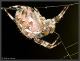 Araneus diadematus - Seite