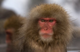 Japanese Macaque #3