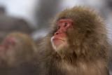 Snow Monkey 8