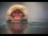 Snow Monkey 10
