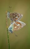 Common Blue Butterflies Mating