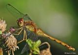 20080821 D300 093 Dragonfly - Y-L Meadowhawk (female).jpg