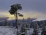 Outline Scots Pine