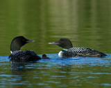 Loons and baby
