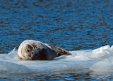 Seal in the River