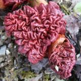 Rheum acuminatum