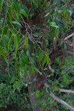 12486 Green Leaves