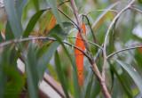 12567 Red Leaf II
