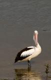 0226 Pelican In Nature