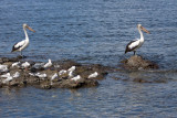 0380 More Pelicans (And Friends)
