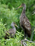 FLORIDA BIRDS & WILDLIFE