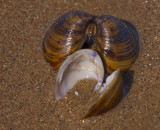 Korfmosselschelp