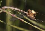 spin die zich tegoed doet aan een waterjuffer