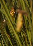 3 uitsluipen bruinrode heidelibel