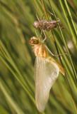12 uitsluipen bruinrode heidelibel