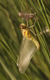 13 uitsluipen bruinrode heidelibel