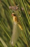 14uitsluipen bruinrode heidelibel