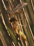 uitsluipen bruinrode heidelibel