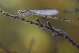 watersnuffel  vrouwtje