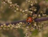 Veelkleurig Aziatisch lieveheersbeestje