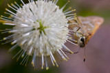 Buttonbush with Unknown Butterfly II