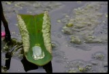 American Lotus Leaf