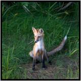 Fox Just Sitting (Red Fox Vulpes Vulpes)
