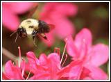 Flying Sheep/Bumble Bee