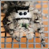 Jumping Spider (Phidippus otiosus)