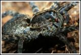 Wolf Spider (small aperture)